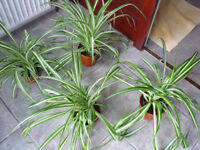Established Spider Plants (CHLOROPHYTUM)
