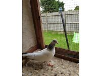 Pigeons for sale pakistani all 12 for 150