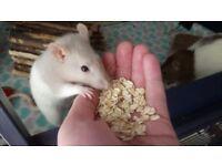 5 friendly female rats needing a new home