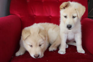 Husky X Malamute Puppies for Sale