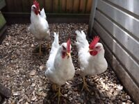 White Leghorn Roosters - 4 months old and ready to be rehomed - free to good home