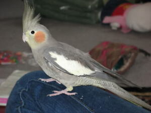 ❤★❤Cockatiel Available with Cage❤★❤