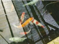 Koi fish pond stuff wanted!!!!!!!