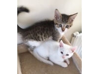 Two Mega purr-y and friendly kittens - Ready Now - Must Go Together