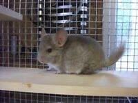 CHINCHILLA FOR SALE £55 BEIGE .