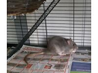 Two Male Rats 4 months old