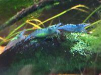 Blue tropical shrimp