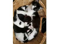 4 beautiful kittens ready next week