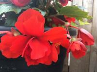 Double bigonia plants in pots for sale