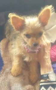 YORKshire Terrier female puppy for adoption. One only