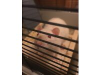 2 pet rats for adoption ASAP (free)