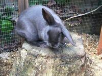 Grey Female Lop Eared Rabbit
