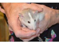 Beautiful Fancy Rats Dumbo's and Top Eared
