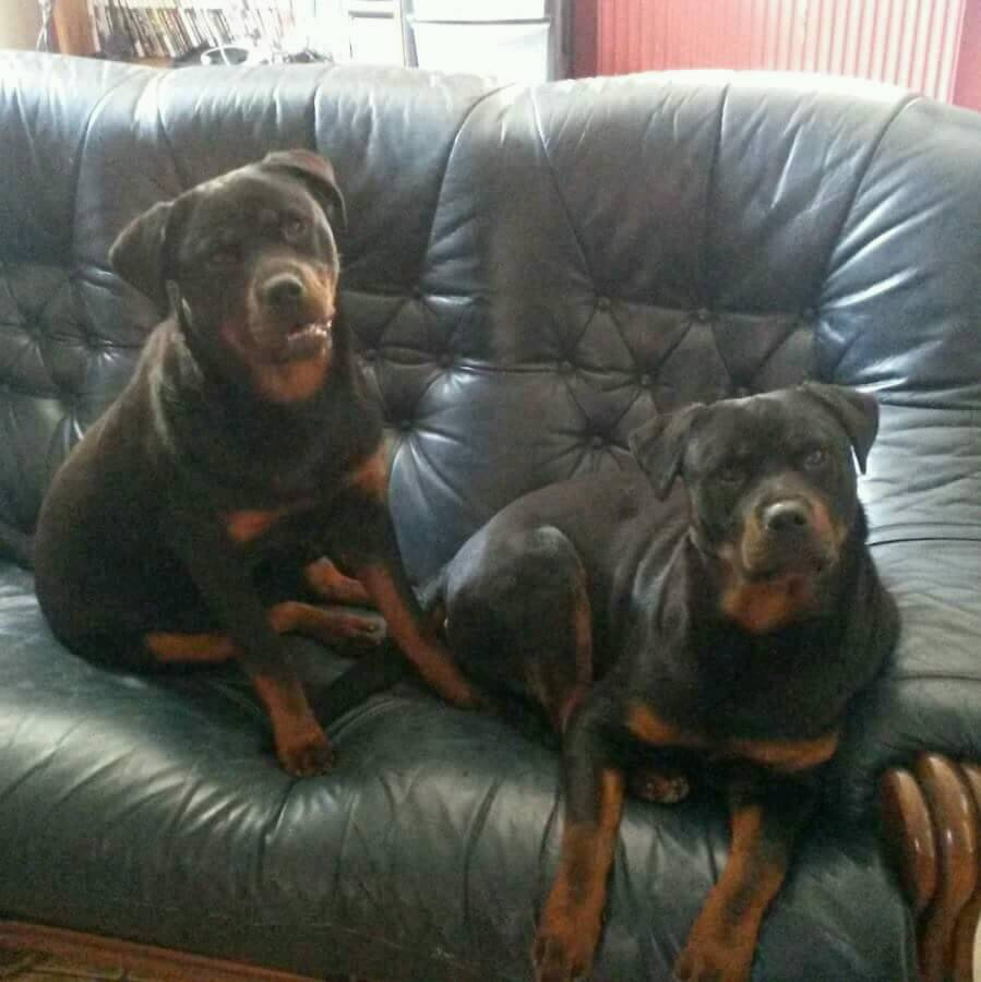 Two Rottweiler Twin Girls With Full Pedigree In Lowestoft Suffolk