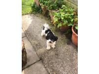 Male toy poodle