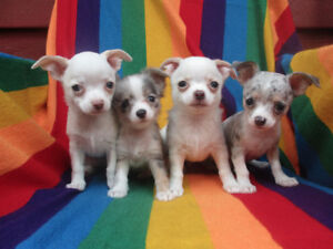 *** Absolutely Adorable Little Chihuahua Puppies ***