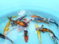 koi for sale ideal pond fish