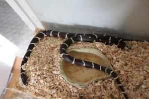 California King Snake with Enclosure, Food etc.