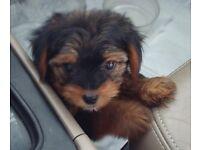 Yorkiepoo puppie