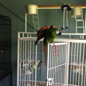 Perroquet Aras sévère  Mâle 13 ans à vendre.