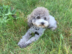 Looking for a female poodle for breeding