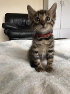 Male Bengal Kitten - Ready To Go!