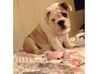 £1000 British bulldog puppy