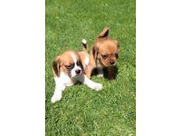 F2 puggle puppies