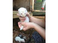 Female ferret kits.