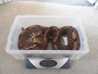 Three Adult Royal Ball Pythons, Fire, Pastel and Spider Morphs