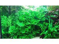 Large java fern aquatic plant