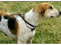 Stunning Foxhounds Free!