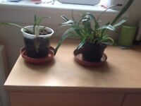 Two Dracula Orchids, £10