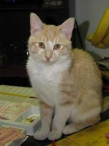 "Young Male Cat - Tabby (Orange)-Tuxedo: ""Robichaud"""