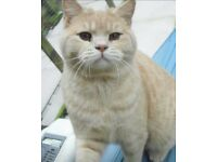 ***Beautiful British Shorthairs Now Ready***