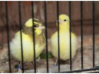 good quality fife canaries all 2017 birds fit and healthy
