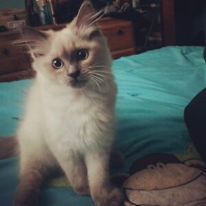 Female Blue Point Himalayan