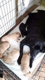 Labrador Retriever Pedigree Reg puppies foe sale!!!