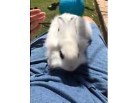 2x lionhead rabbits and hutch