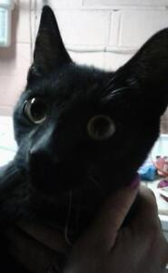 """Baby Male Cat - Domestic Short Hair: """"Alessandro"""""""