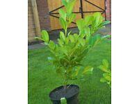 potted cherry laurel plants