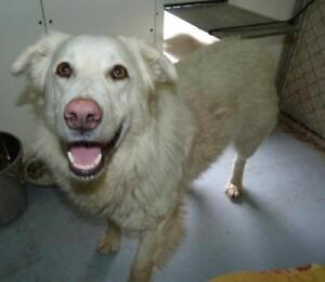 "Adult Female Dog - Retriever-Mixed Breed: ""Luna"""