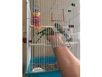 2 Badgies, cage,food,treats and toys