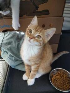 "Baby Male Cat - Domestic Short Hair: ""Hank"""