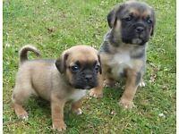 ******puggle puppies******