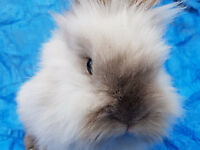 purebred seal point lionhead female