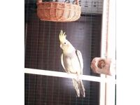 young Cockatiel is looking for a new home