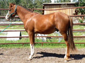 Welsh Arab cross gelding
