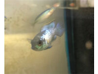 Electric blue Acara tropical fish