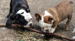 TWO BULLDOG MALE PUPPIES